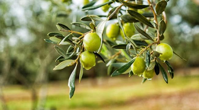 Zeytin yetiştiriciliğinin püf noktaları
